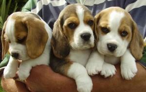 Allarme rosso: dopo Menarini, il gruppo Glaxo importa altri 32 beagle