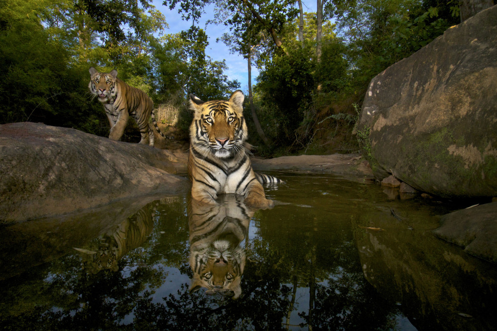 020 © Steve Winter (USA) Last wild picture Wildlife Photographer of the Year 2012