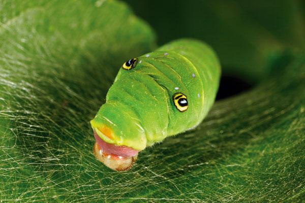 ©George Grall/National Geographic Il nido Maryland, Usa: un bruco della specie Papilio glaucus tesse la tela protettiva su una foglia