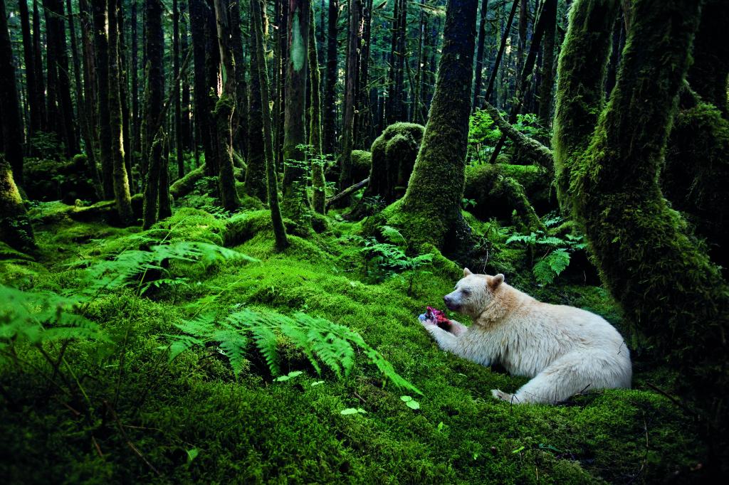 1.Paul Nicklen Canada 2011 Addentrandosi nella verdeggiante foresta pluviale della regione costiera della Columbia Britannica, Paul Nicklen ha scattato questa bella e rara immagine di un orso kermode, detto anche orso spirito, quasi completamente bianco.