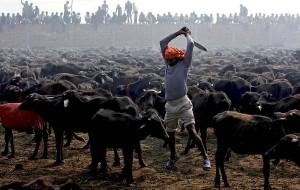 La coinvolgente indifferenza: il più grande sacrificio di animali al mondo