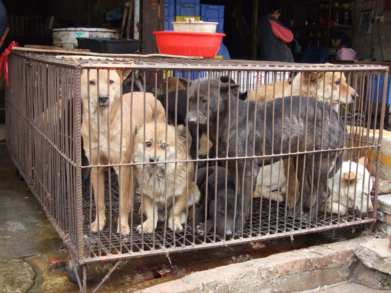 FIG 1  Millions of dogs are slaughtered for their meat in China each year