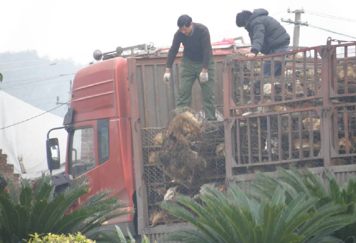 FIG 13 The dogs were dropped from the top of the truck still in their cages