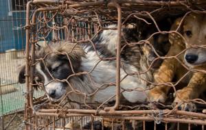 Animal Equality, la preziosa testimonianza sul crudele commercio di carne di cane e  gatto