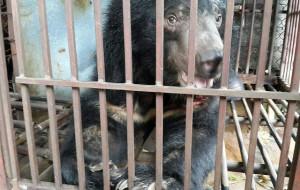 Animals Asia,  altri 13 orsi della luna finalmente liberi in Vietnam