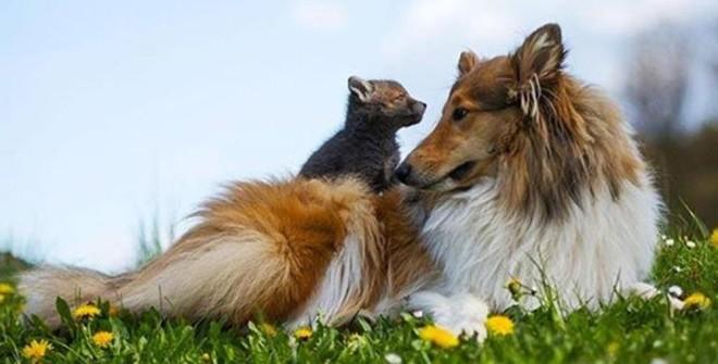 Cucciolo di volpe rimane orfano, un Collie l'adotta e lo cresce come suo. LaStampa.it